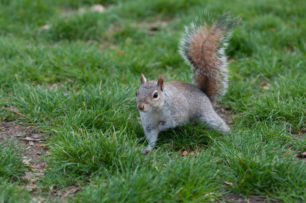 londyńska wiewiórka green park